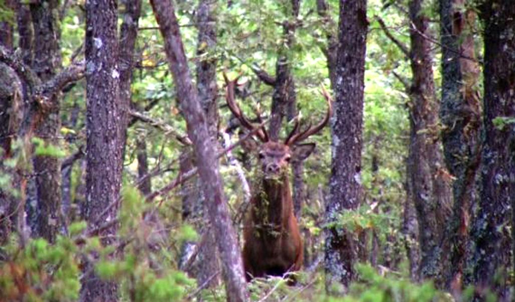 la berrea de los ciervos en Soria