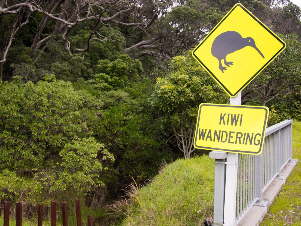 El Kiwi es un emblema nacional, equivalente al canguro en Australia. cc-by Abaconda