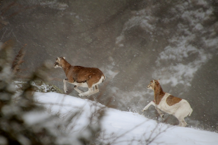 Una pareja de jóvenes muflones corretea por la nieve. | Ferran Jordà