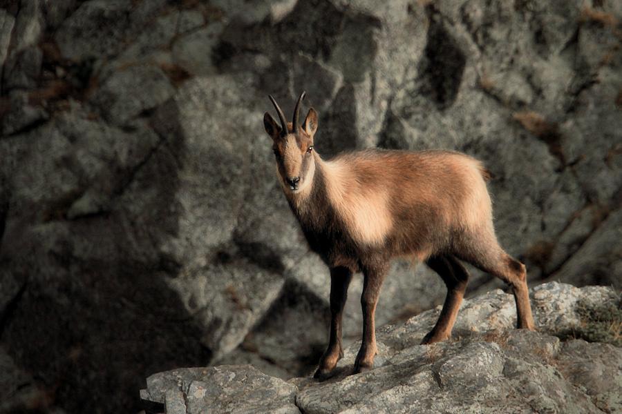 Fotografía de un Sarrio, uno de los mamiferos salvajes más comunes del Pirineo. | cc-by-sa-nc Ferran Jordá