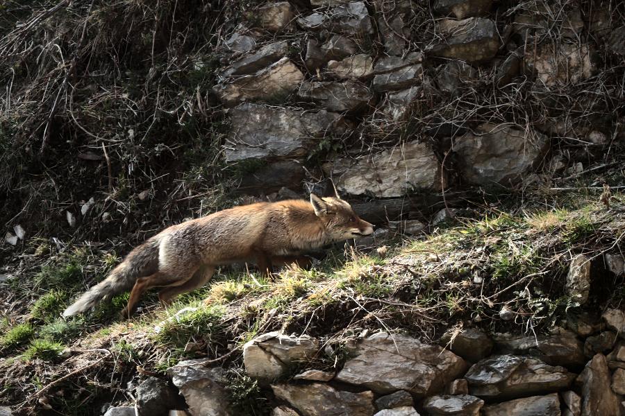 Un zorro agazapado en algún lugar del Pirineo de Catalunya. En los últimos 10 años se han captado muy pocas imágenes del lobo en el Pirineo. Esta es una de ellas, tomada en febrero de 2014. | cc-by-nc-sa Ferran Jordá