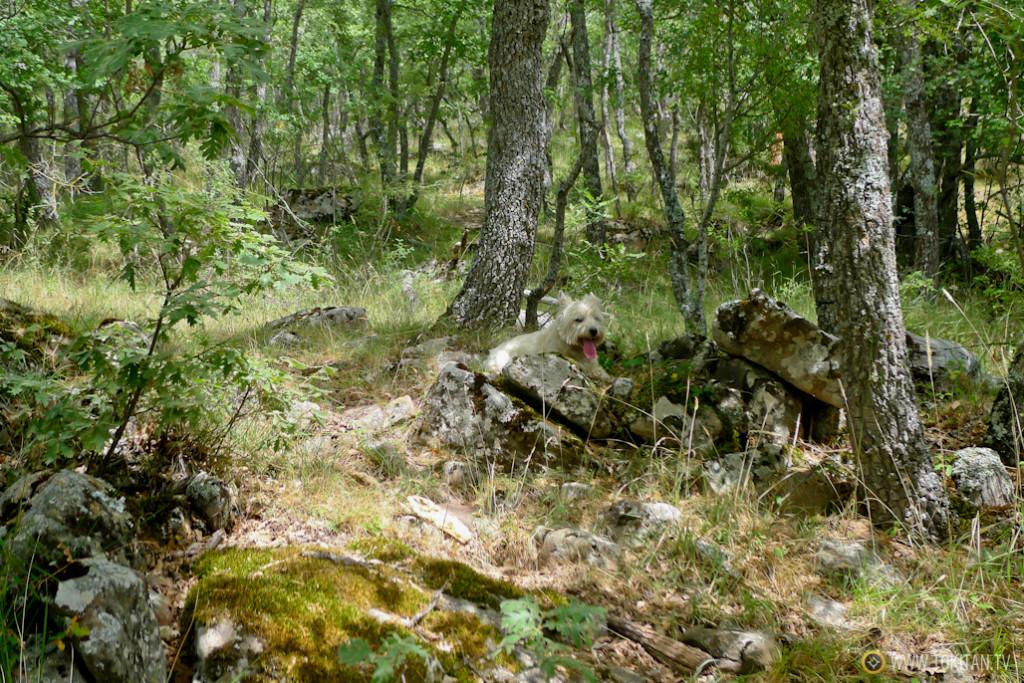 Mi compañero Bourbon descansa durante una caminata por el bosque.