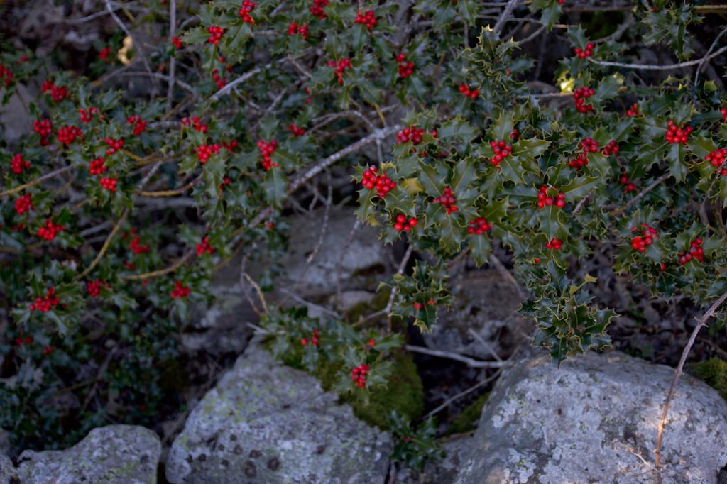 El característico fruto rojo o drupa de los acebos permite distinguira hembras y machos.