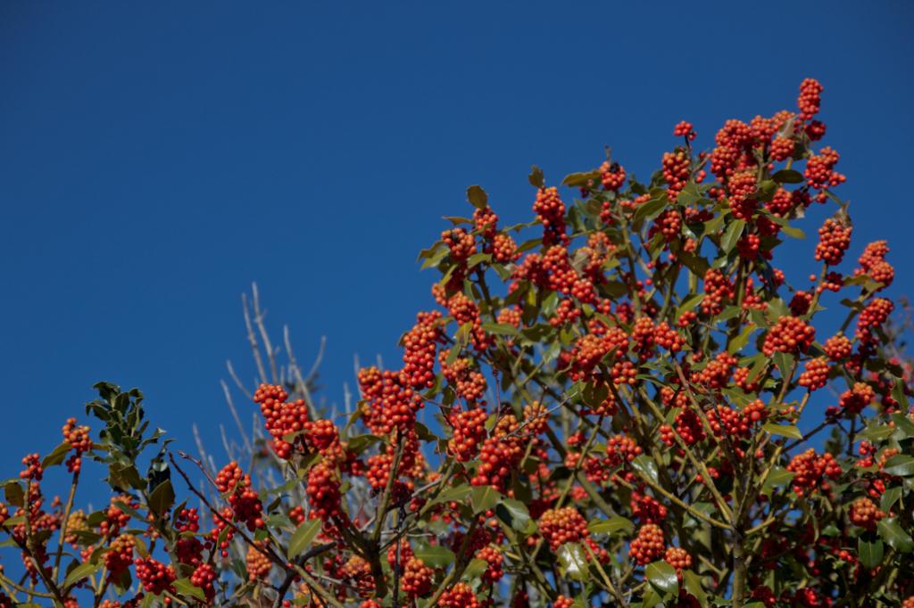 Según van madurando, las drupas del acebo pasandel verde a una especie de rojo coral.