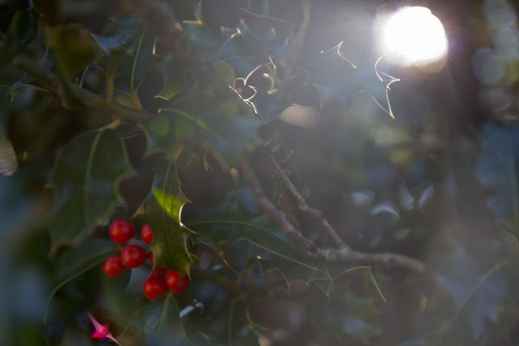 Un acebo hembra, en plena época de maduración del fruto.