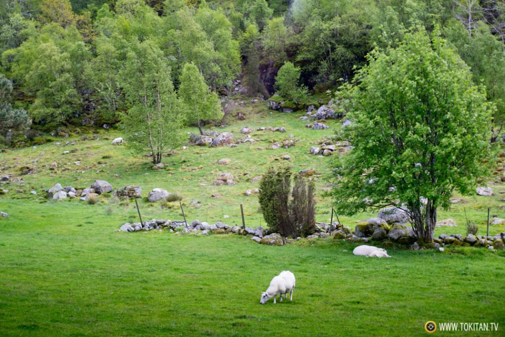 Una oveja pasta en las inmediaciones de la antigua granja.