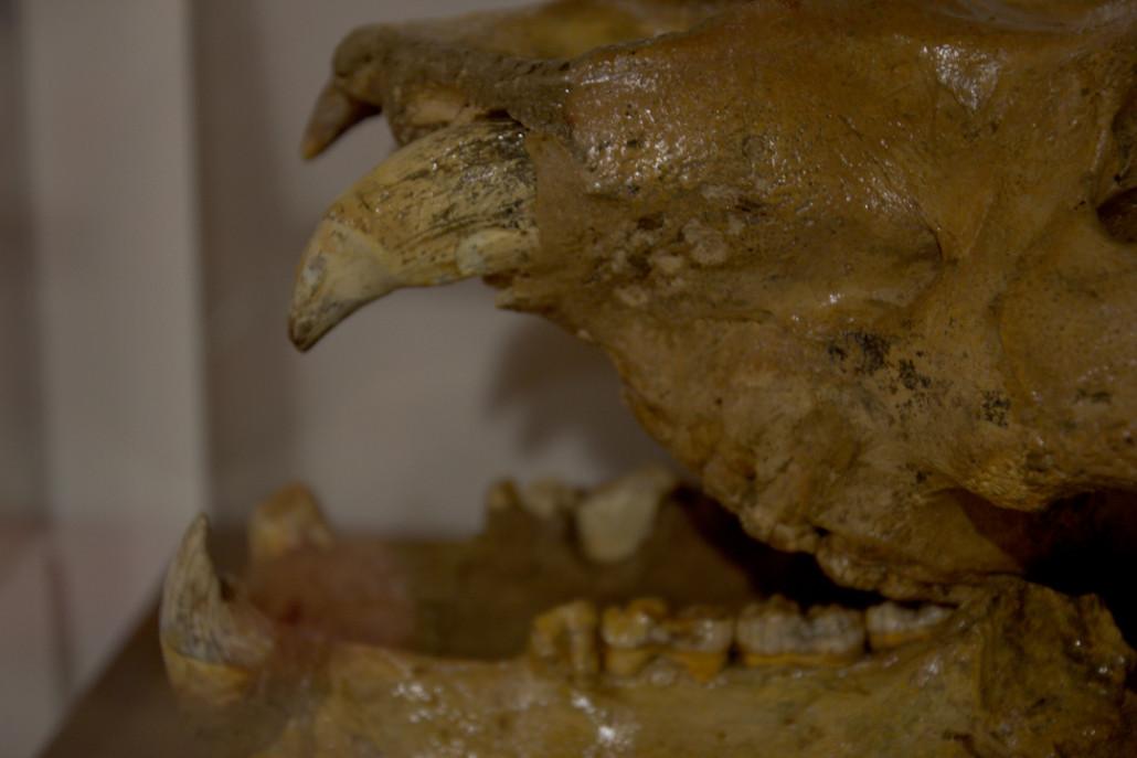 Cráneo de un oso cavernario expuesto en el Centro de Interpretación.