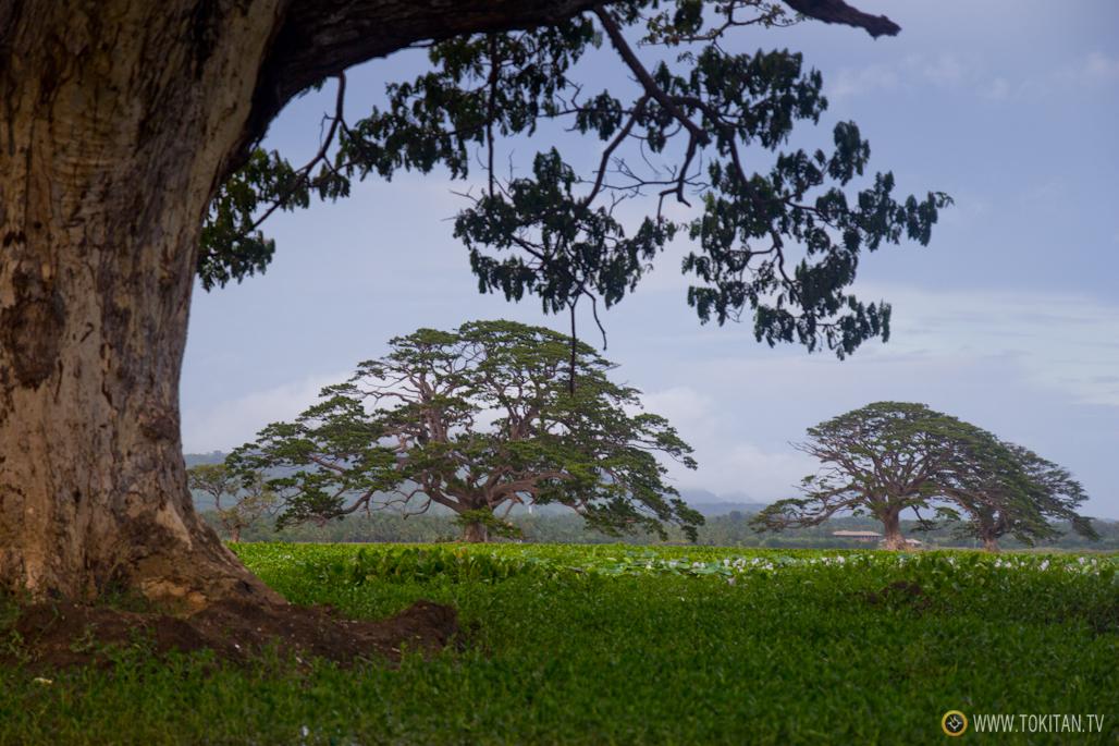 Los árboles de la lluvia plantados por los británicos para dar sombra.