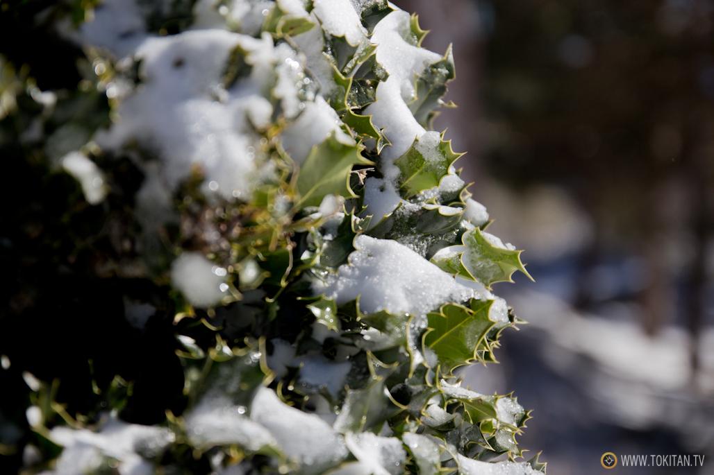 Un acebo cubierto de nieve.